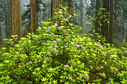 Damnation Photo Prints - Spring In The Redwood Forest Print by Stuart Gordon