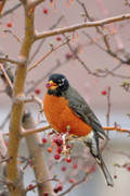 American Robin Posters - Spring is Coming Poster by Betty LaRue
