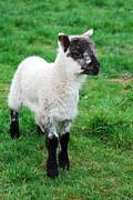 Joe Cashin - Spring Lamb