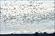 Snow Geese Art - Spring Migration #2 by Kae Cheatham