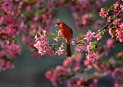 Nava Jo Thompson Posters - Spring Morning Cardinal Poster by Nava Jo Thompson