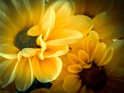Judy Hall-Folde - Spring Mums