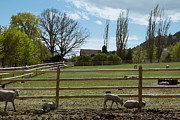 Split Rail Fence Prints - Spring on the Farm Print by Kathy Bassett