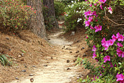 Pine Cones Photos - Spring Pathway by Lynn Whitt