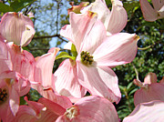 Flora Photography Prints Posters - Spring Pink Dogwood Floral art prints Flowers Poster by Baslee Troutman Fine Art Prints