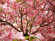 Flora Photography Prints Posters - Spring Pink Dogwood Tree Blososms art prints Poster by Baslee Troutman Photography Art Prints