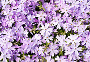 Creeping Phlox Framed Prints - Spring Purple Framed Print by Sari ONeal