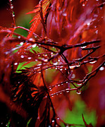 Red Maple Tree Photos - Spring Rain by Rona Black