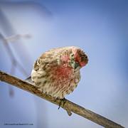 LeeAnn McLaneGoetz McLaneGoetzStudioLLCcom - Spring Red Finch