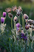 Pulsatilla Vulgaris Prints - Spring Remembered Print by Theo OConnor
