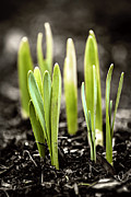 Seedlings Posters - Spring shoots Poster by Elena Elisseeva