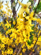 Susan Savad Framed Prints - Spring - Sprig of Forsythia Framed Print by Susan Savad