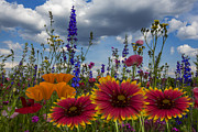 Gaillardia Photos - Spring Symphony by Debra and Dave Vanderlaan