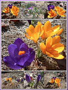 Yellow Crocus Posters - Spring Time Crocuses Poster by Patricia Keller