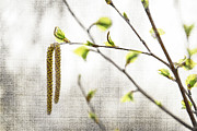 Tress Prints - Spring tree branch Print by Elena Elisseeva