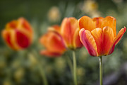Color  Colorful Prints - Spring Tulips Print by Adam Romanowicz