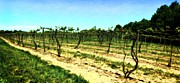 Grape Country Photos - Spring Vineyard ll by Michelle Calkins