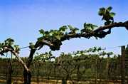 Grape Vines Art - Spring Vineyard by Michelle Calkins