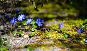Blue Flowers Photos - Spring Wild Flowers by Jenny Rainbow