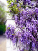 Climbing Posters - Spring Wisteria Poster by Jessica Jenney
