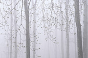 Alan L Graham - Spring Woodland Fog 2
