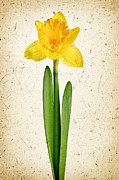 Parchment Posters - Spring yellow daffodil Poster by Elena Elisseeva