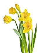 Stems Prints - Spring yellow daffodils Print by Elena Elisseeva