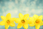 Jonquils Photos - Spring Yellow by Darren Fisher