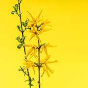 Spring Yellow Forsythia Print by Elena Elisseeva