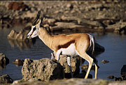 Springbok Framed Prints - Springbok drinking Framed Print by Stefan Carpenter