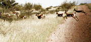 Springbok Posters - Springbok Running Poster by Samantha Anne Hutchinson