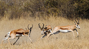 Springbok Posters - Springbok Poster by Sandra Roniger-Hughes