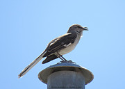 Lightpole Framed Prints - Springs  Mockingbird Framed Print by Carl Deaville