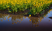 Skagit Valley Posters - Springs Reflection Poster by Mike Reid