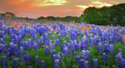 Springtime Sunset In Texas - Texas Bluebonnet Wildflowers Landscape Flowers Paintbrush Print by Jon Holiday