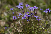 Tiny Bluet Prints - Springtime Tiny Bluet Wildflowers - Houstonia pusilla Print by Kathy Clark
