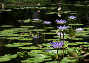 Hawaiian Pond Prints - Sprinkling of Purple Water Lilies Print by Sabrina L Ryan