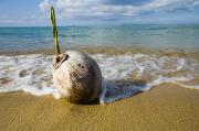 China Beach Prints - Sprouting Coconut Washed Up On Beach Print by Naki Kouyioumtzis