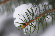 Spruce Branch With Snow Print by Elena Elisseeva
