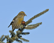 Crossbill Posters - Spruce Cone Feeder Poster by Tony Beck