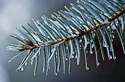 Conifer Posters - Spruce needles with water drops Poster by Elena Elisseeva