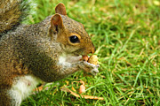 Garden Animals Posters - Squirrel and a peanut Poster by Deepak Kumar