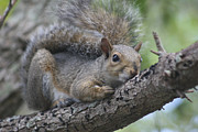 Carlynne Hershberger - Squirrel