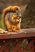 Sciurus Carolinensis Prints - Squirrel Eating a Peanut Print by  Onyonet  Photo Studios