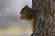 Jean Gonzales - Squirrel Eating a Pecan