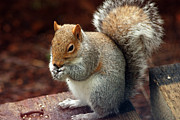 Ron Roberts Photography Prints Prints - Squirrel Eating Print by Ron Roberts