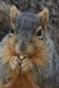 Lori Tordsen Art - Squirrel holding a piece of corn by Lori Tordsen