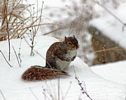 Karen Adams - Squirrel in Winter