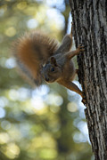 Composition Prints - Squirrel Print by Juli Scalzi