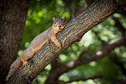 Squirrel Photos - Squirrel Just Resting by Karen Zucal Varnas